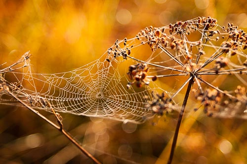 cobweb morning dew
